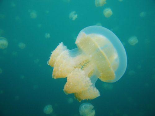 Palau_stingless_jellyfish